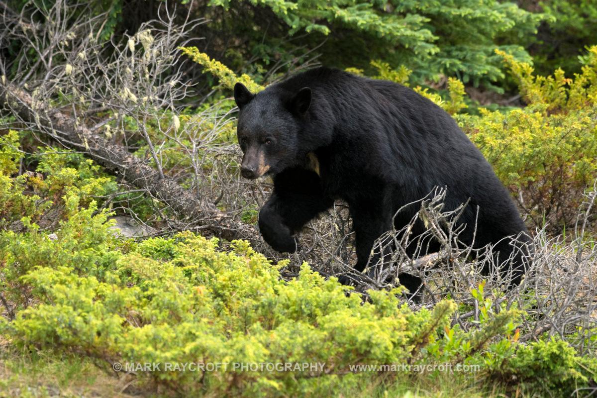 UA7753_Black_Bear_Mark_RaycroftA.JPG