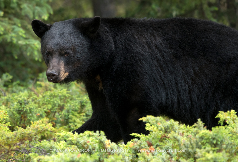 UA7739_Black_Bear_Mark_Raycroft.JPG