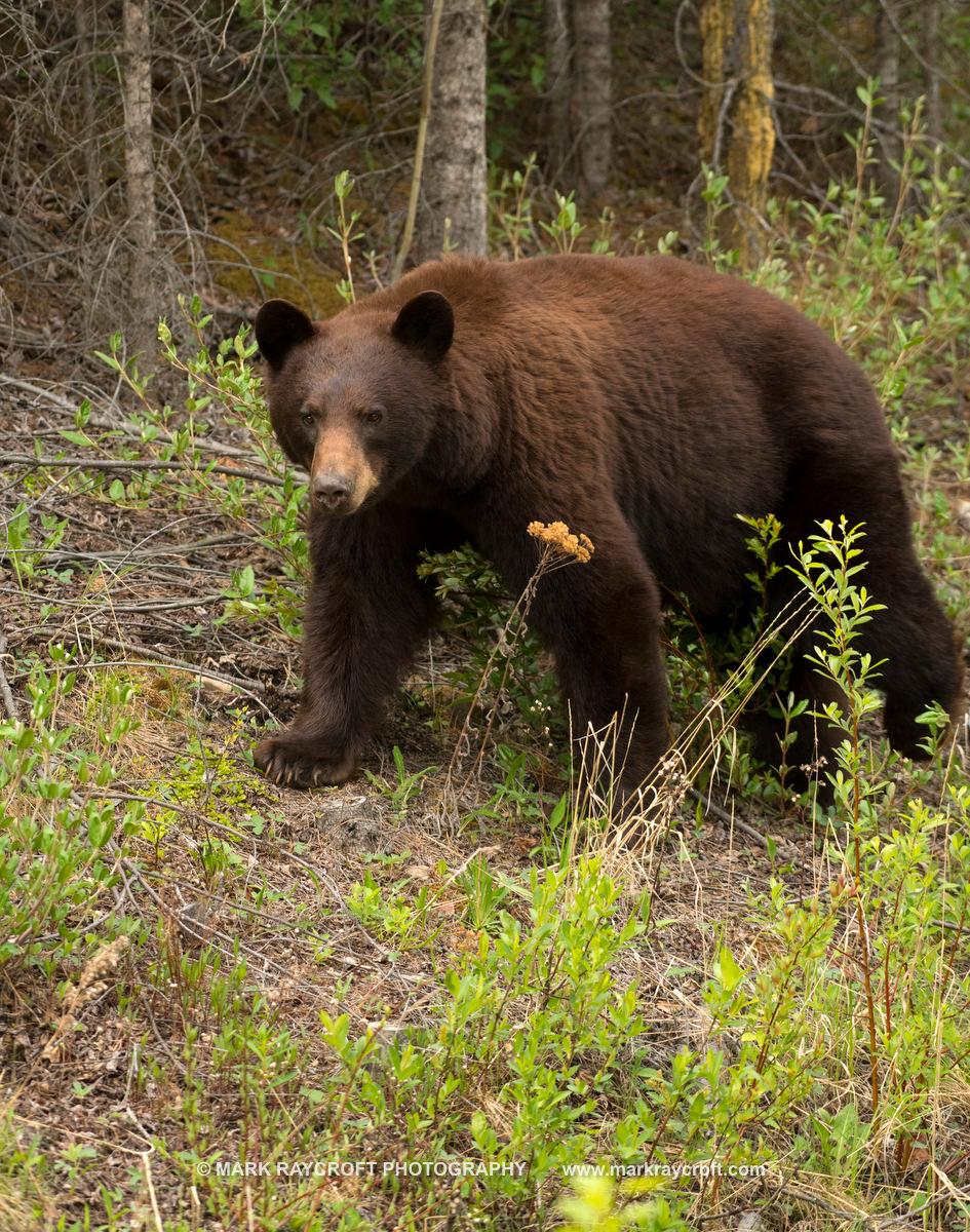 UA77301_Black_Bear_Mark_RaycroftC.JPG