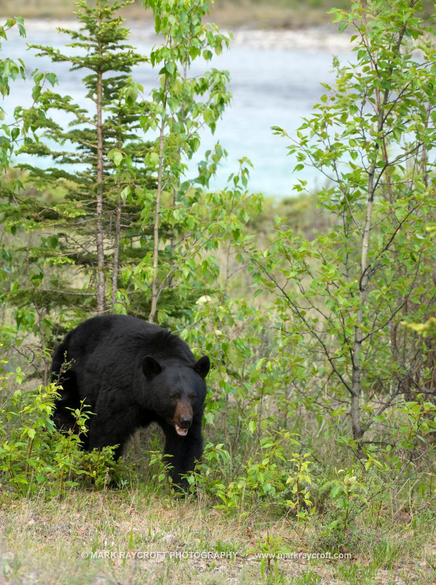 UA7718_Black_Bear_Mark_RaycroftB.JPG