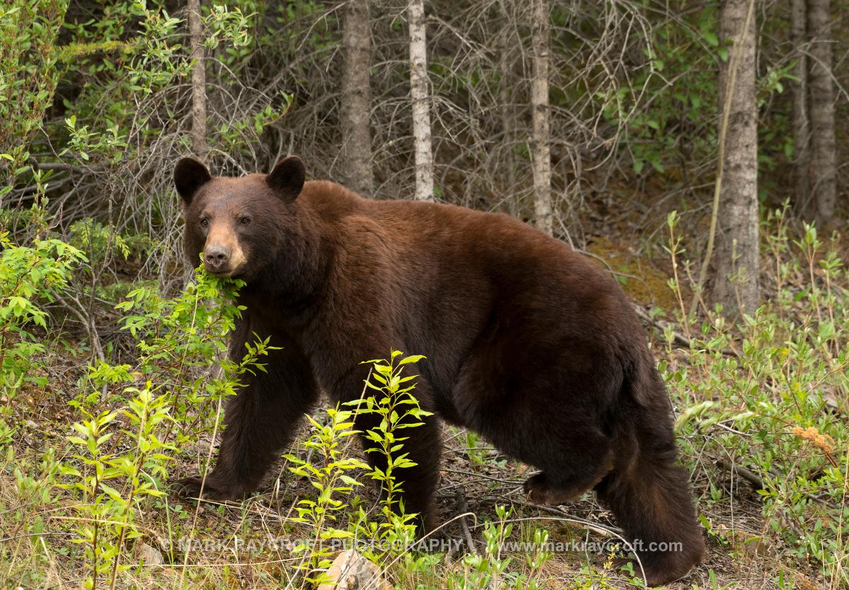 UA7732_Black_Bear_Mark_RaycroftA.JPG
