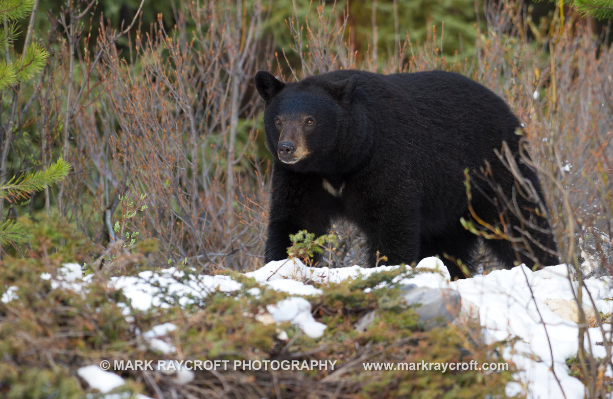UA7006_Black_Bear_Mark_Raycroft.JPG