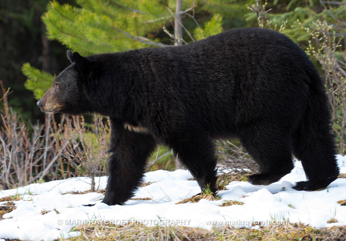UA7009_Black_Bear_Mark_Raycroft.JPG