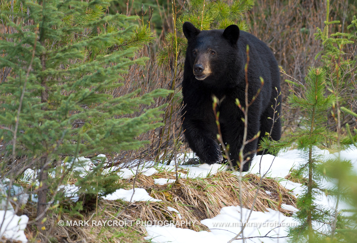 UA7010_Black_Bear_Mark_Raycroft.JPG