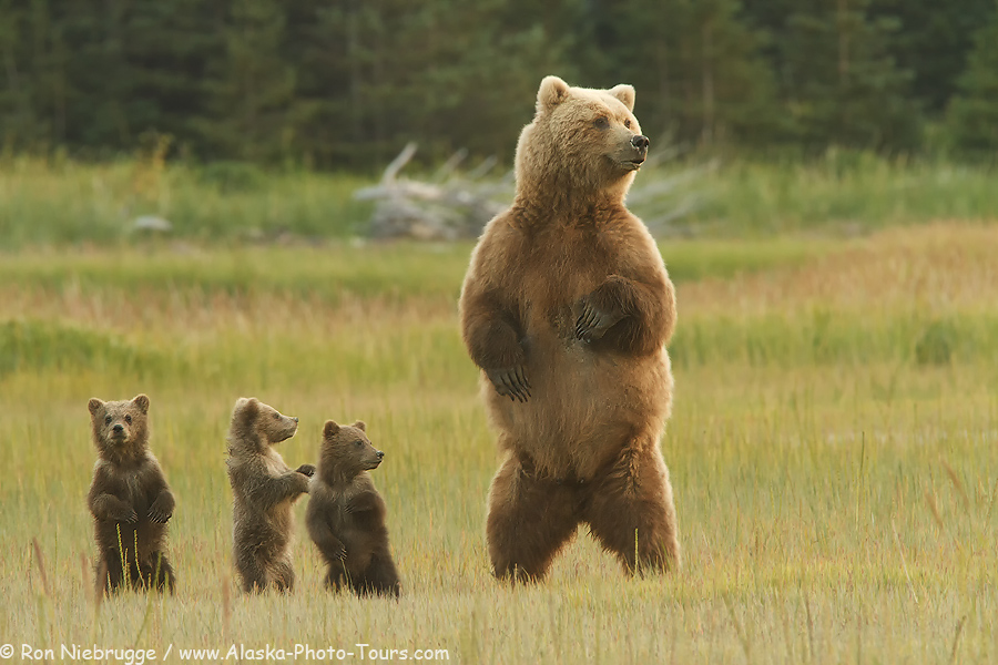 Alaska-photo-tours-bears.jpg