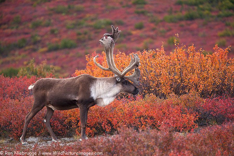 Denali-Caribou-fall-lg.jpg