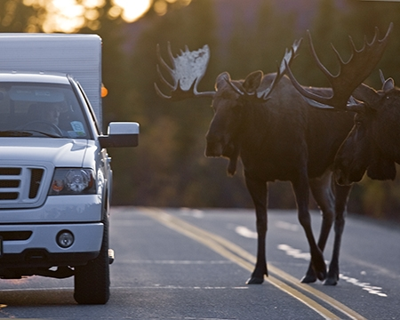 Moose Paying Homage to Vic Low Res.JPG