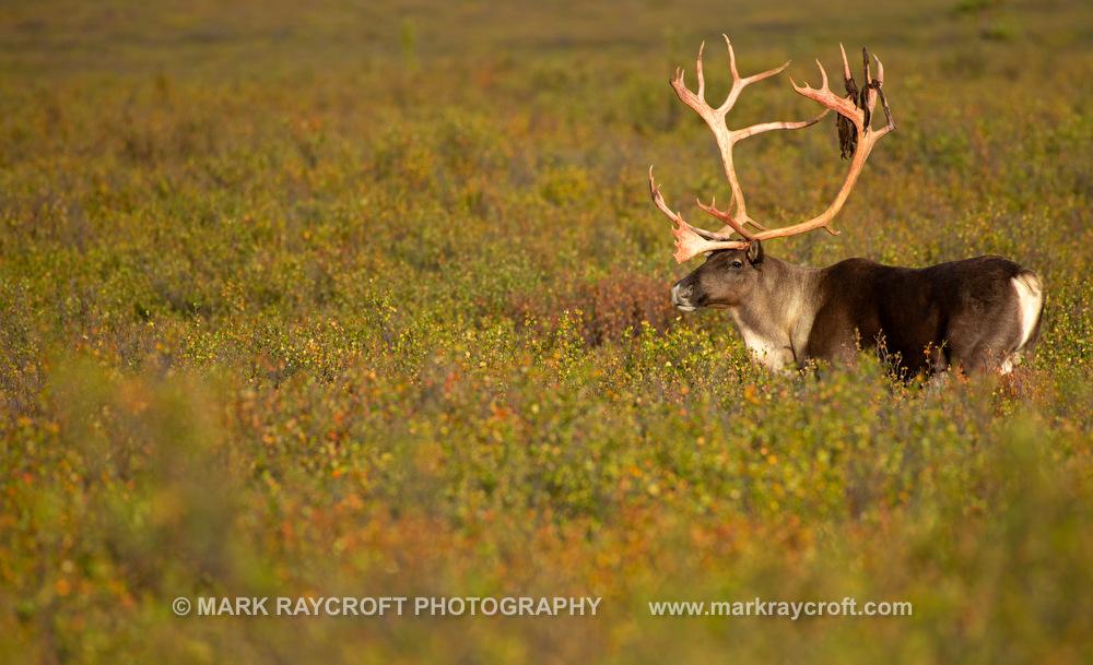 RT4803_Caribou_Mark_RaycroftC.JPG