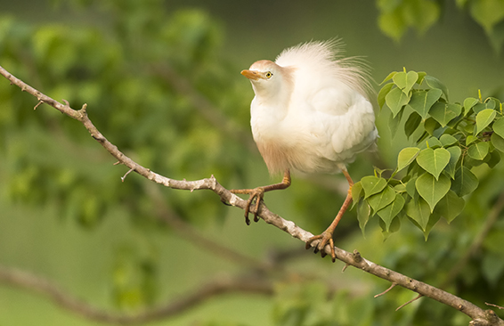 Cattle Egret: Louisiana was not a location I had on my list before hitting the road, but meeting Richard, a native of Louisiana, meant I was now spending long periods of time in the southern state. I discovered that the bird photography was amazing down there, including this one rookery I learned about that had cattle egrets, roseate spoonbills, little blue herons and more.