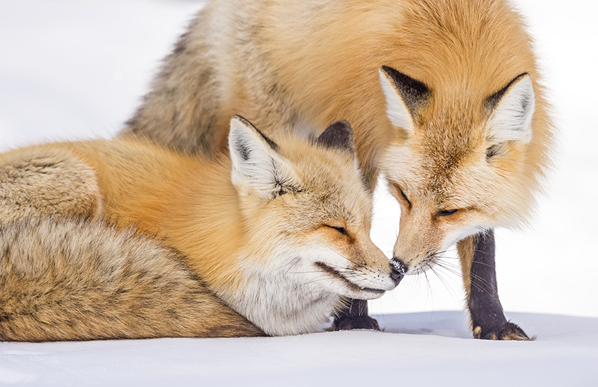 Red Fox -  Grand Teton National Park