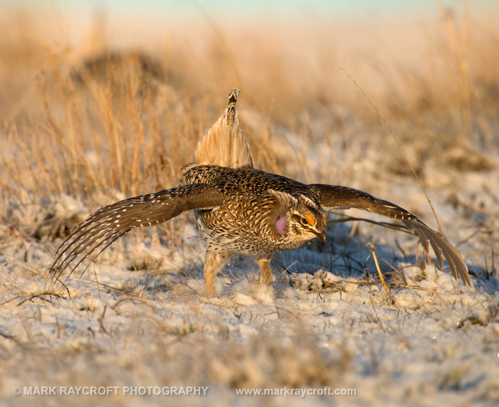 Sharp-Tailed Grouse on Lek - The Dance!
