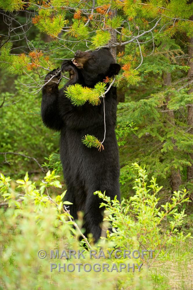 UA5111_Black_Bear_Mark_Raycroft.JPG