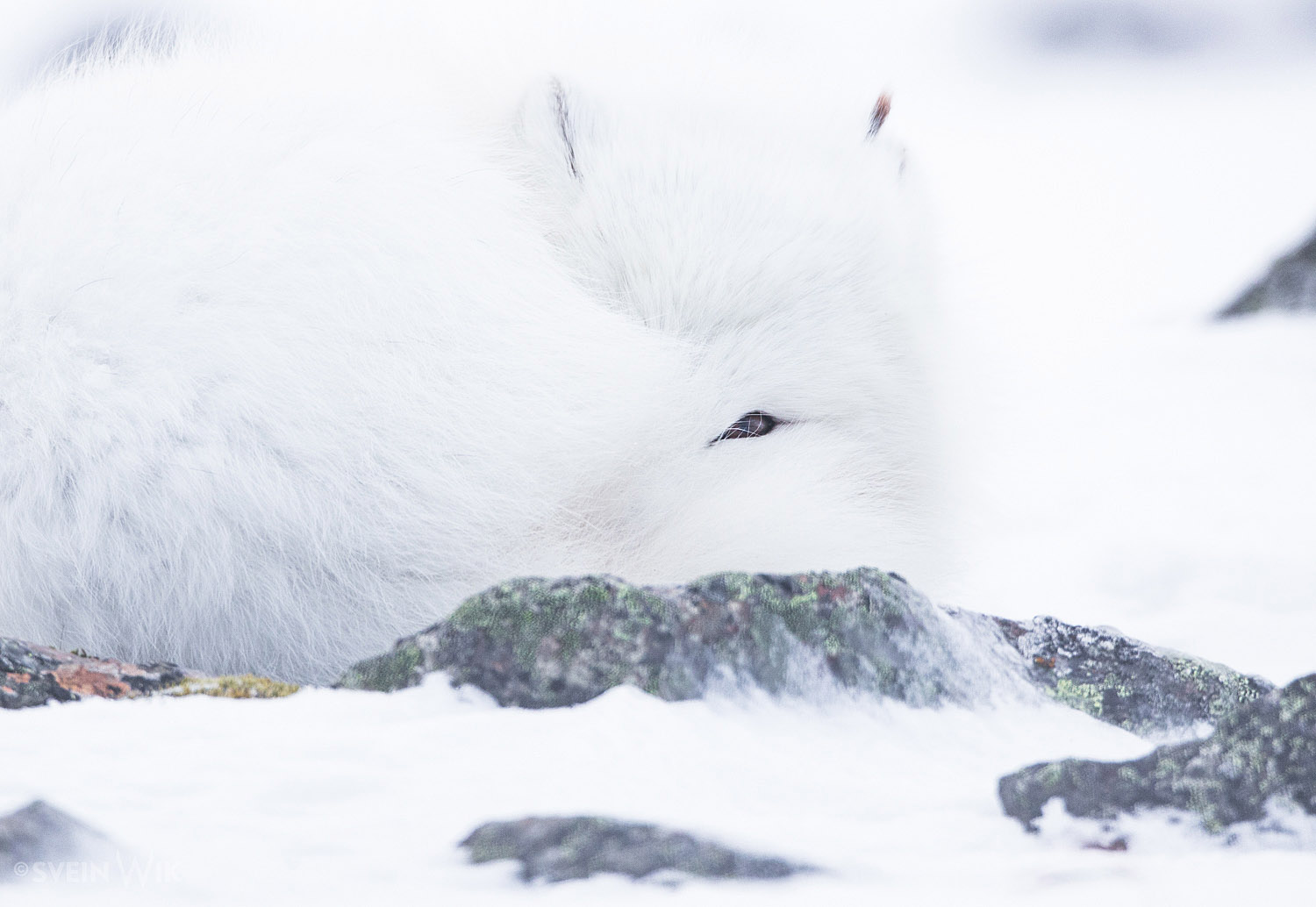 Arctic Fox sleeping with one eye open.jpg