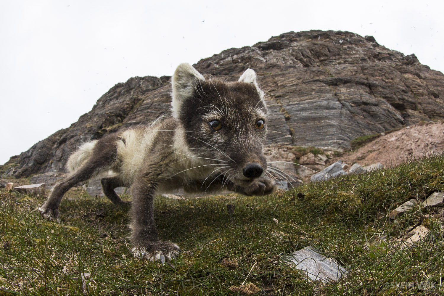 Arctic Fox wideangel by bird cliff.jpg