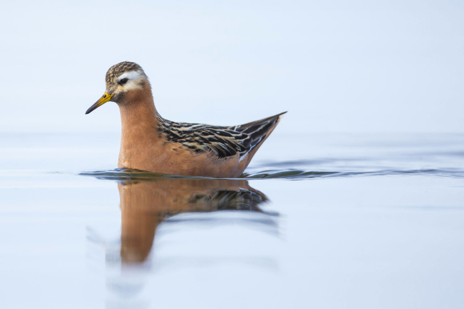 Phalarope in summer.jpg