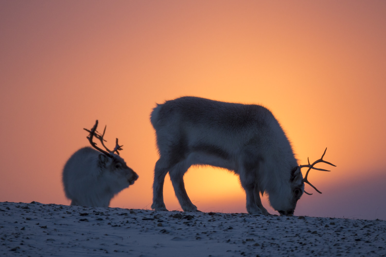 Reindeers in late February.jpg