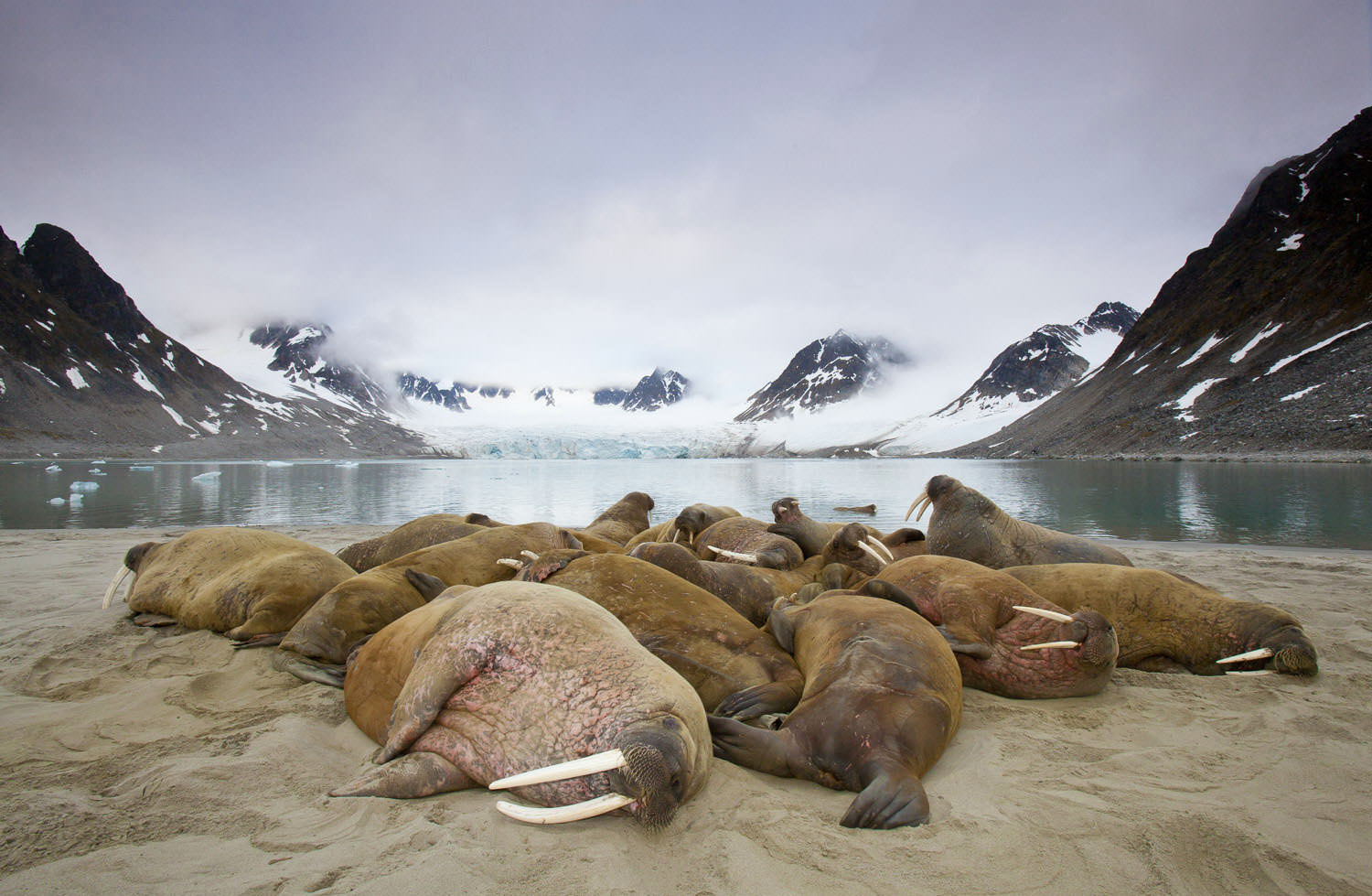 Walrus colony June.jpg