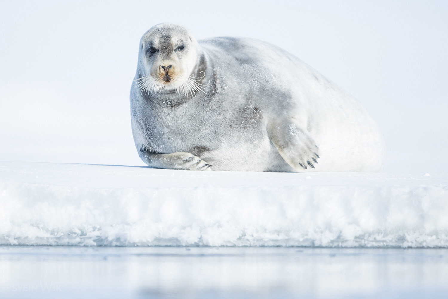 Bearded Seal April.jpg