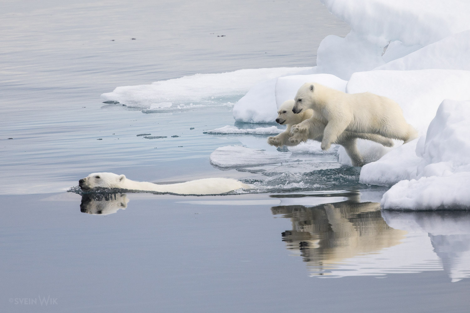 Following mother polar bear.jpg