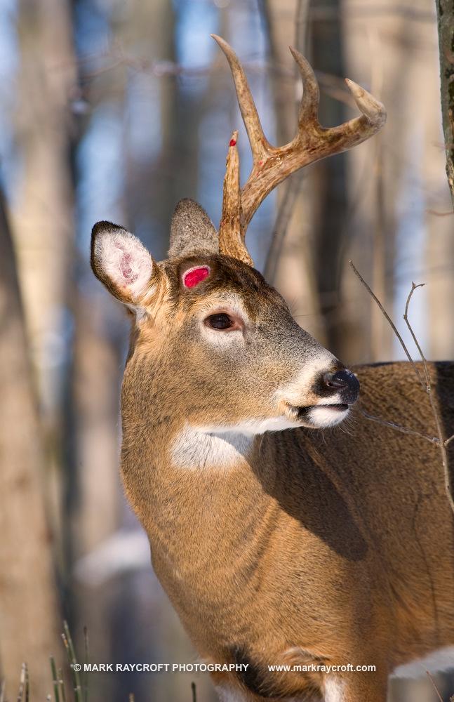 OV53234_White-Tailed_Deer_Mark_Raycroft.JPG