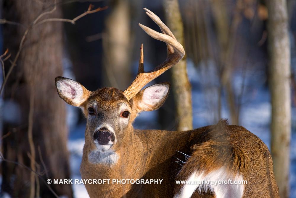 OV53244_White-Tailed_Deer_Mark_Raycroft.JPG