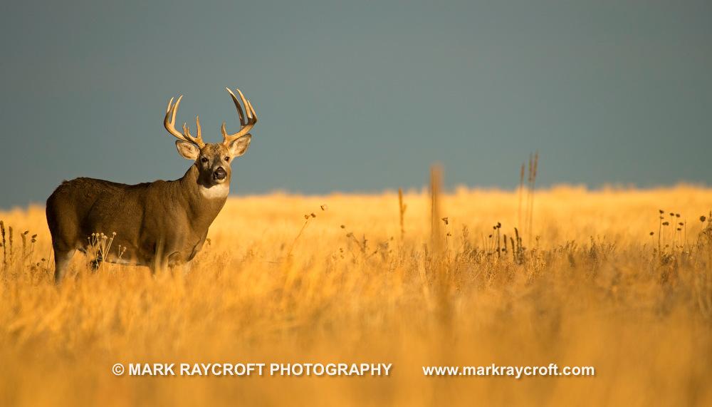 OV81156_White-Tailed_Deer_Mark_Raycroft.JPG