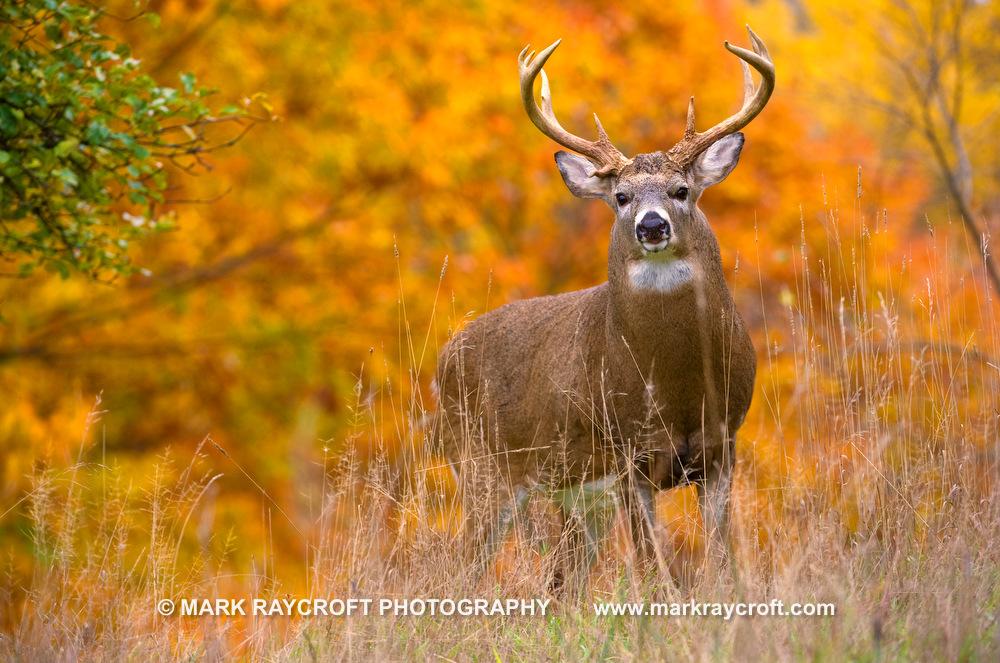 OV61337_Deer_MR 2.JPG
