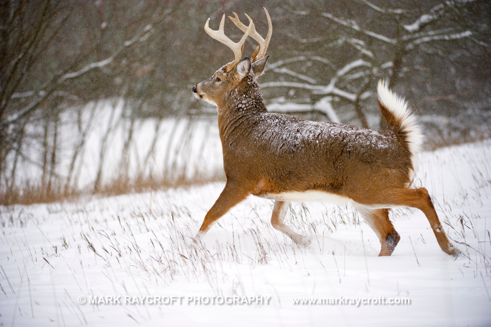 OV55002_White-Tailed_Deer_Mark_Raycroft.JPG