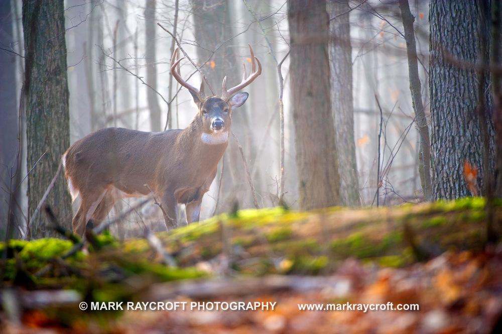 OV51510_White-Tailed_Deer_Mark_Raycroft.JPG