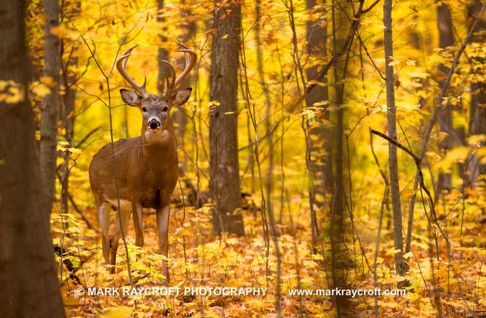 OV41155_Deer_MR.JPG
