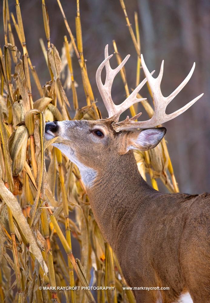 OV33234_White-Tailed_Deer_Mark_RaycroftA.JPG