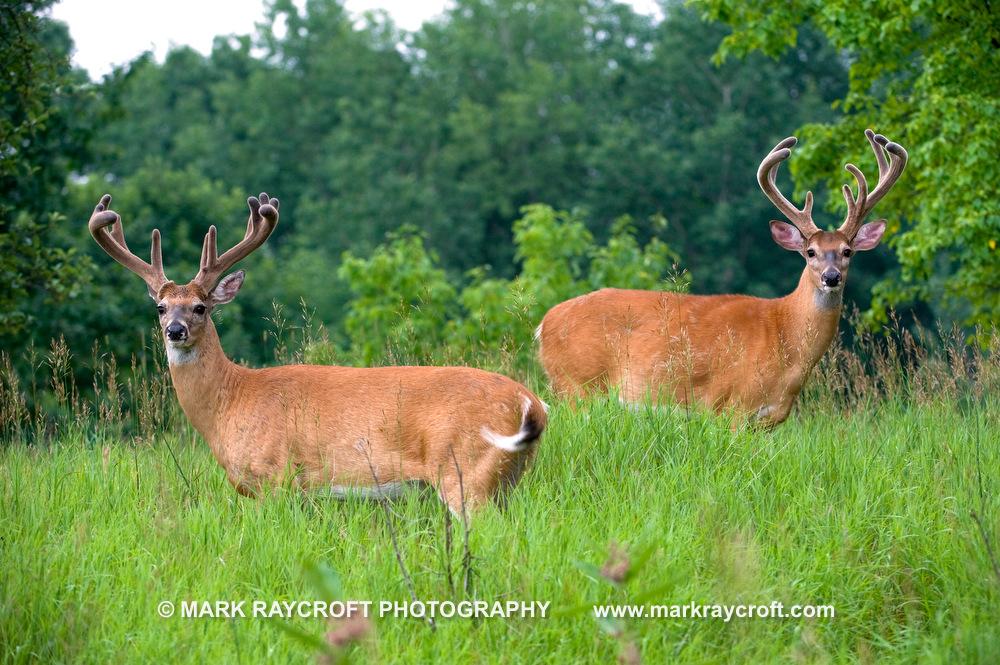 OV14072_White-Tailed_Deer_Mark_RaycroftA.JPG