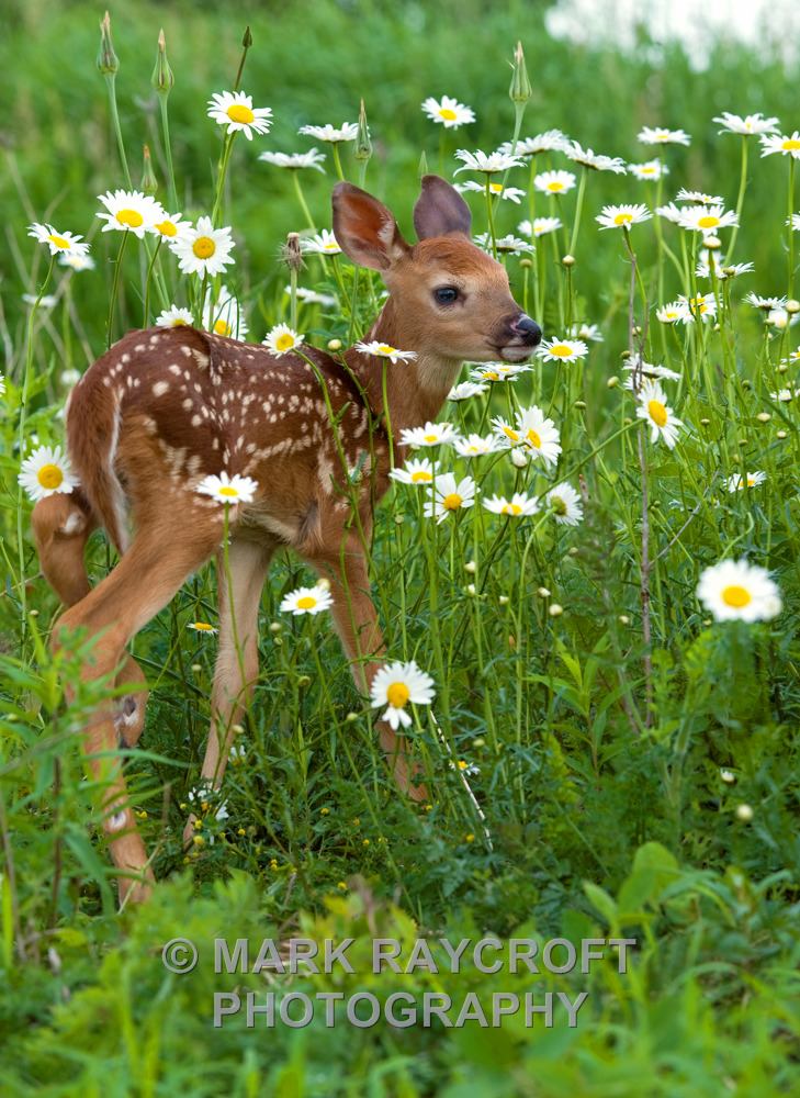 OV12518_White-Tailed_Deer_Mark_Raycroft.JPG