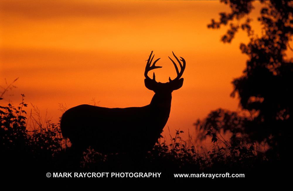 OV18690_White-Tailed_Deer_Mark_Raycroft.JPG