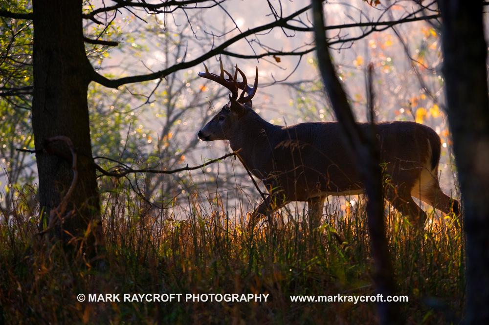 OV51631_White-Tailed_Deer_Mark_Raycroft.JPG
