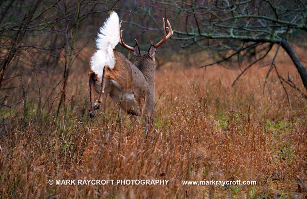OV61607_White-Tailed_Deer_Mark_Raycroft.JPG
