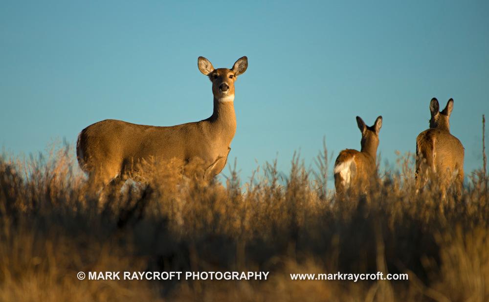 OV81101_White-Tailed_Deer_Mark_Raycroft.JPG