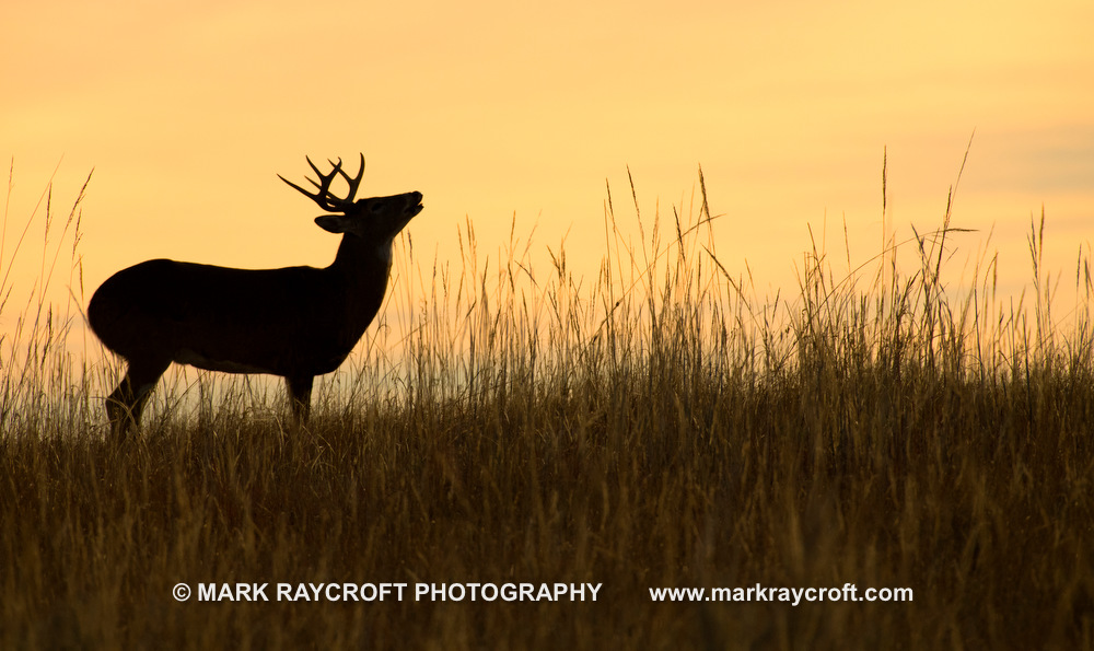 OV81061_White-Tailed_Deer_Mark_Raycroft.JPG