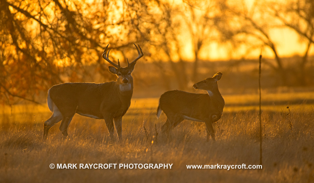 OV81091_White-Tailed_Deer_Mark_Raycroft.JPG