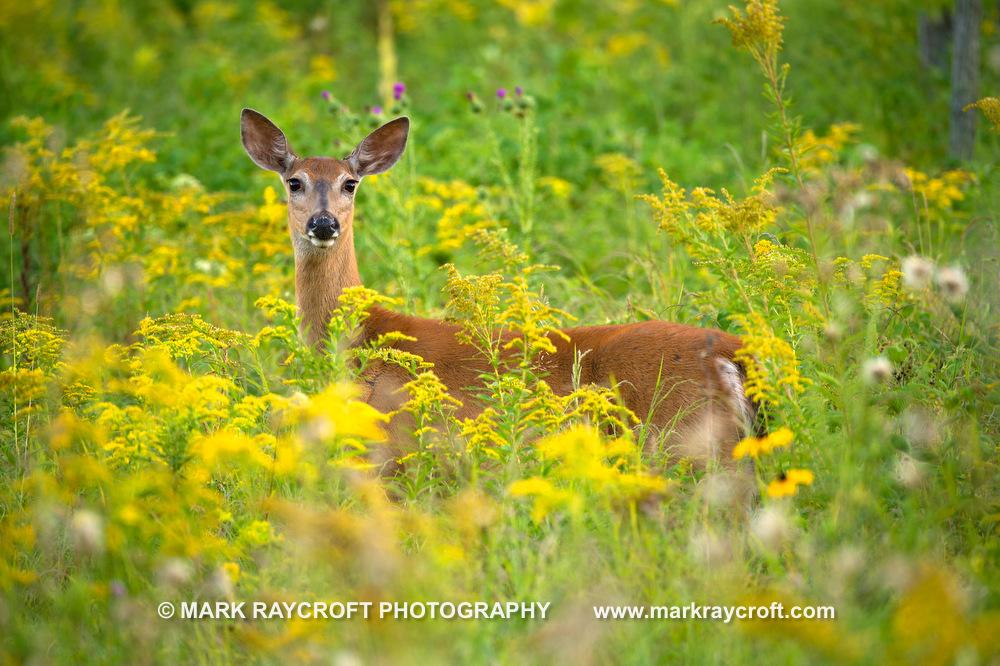 OV72624_White-Tailed_Deer_Mark_RaycroftA.JPG