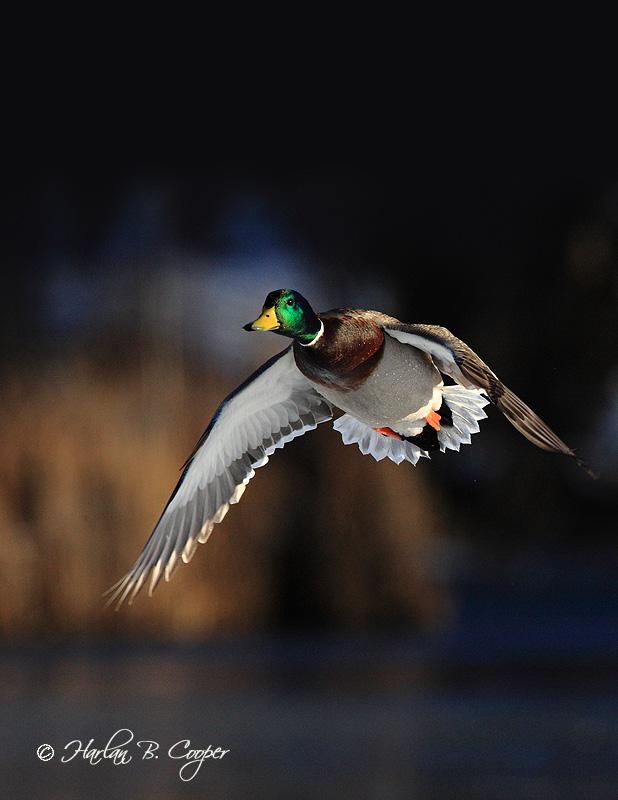 Ducks_0826_extendedcover.jpg