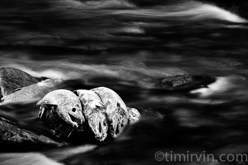 Salmon_Ghosts.jpg