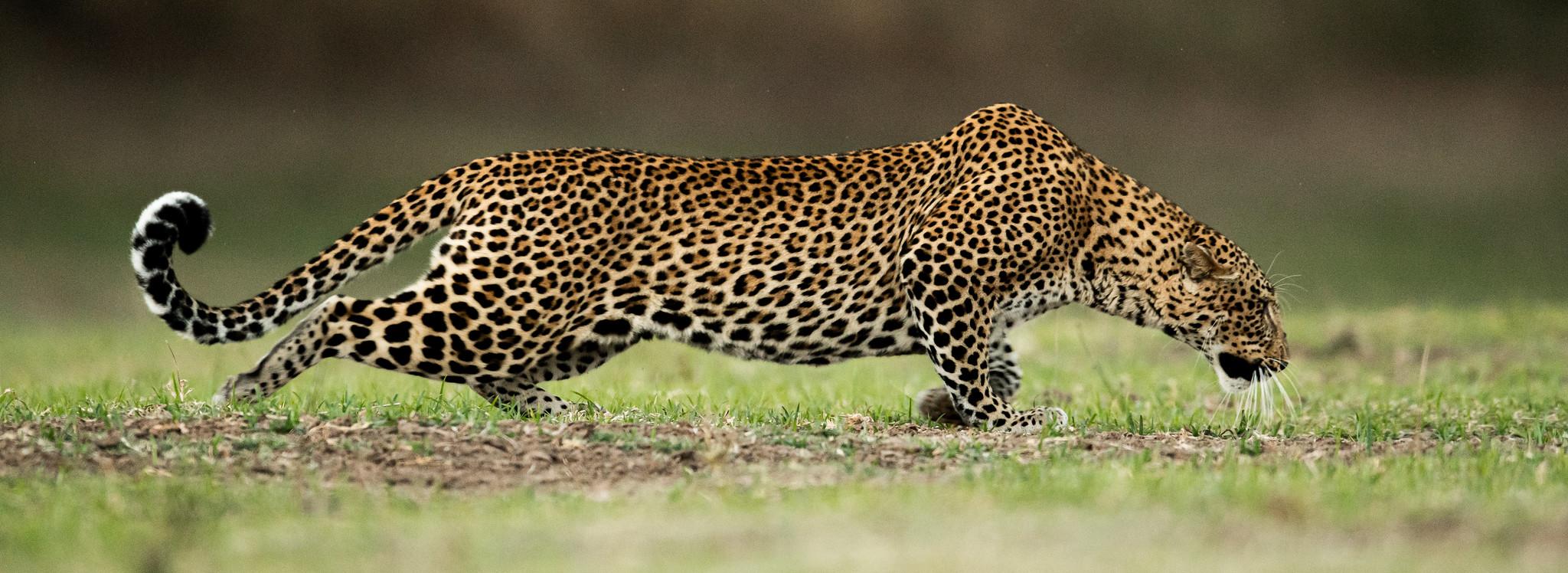 STEALTH - Female Leopard Hunting - Zambia 2019.jpg