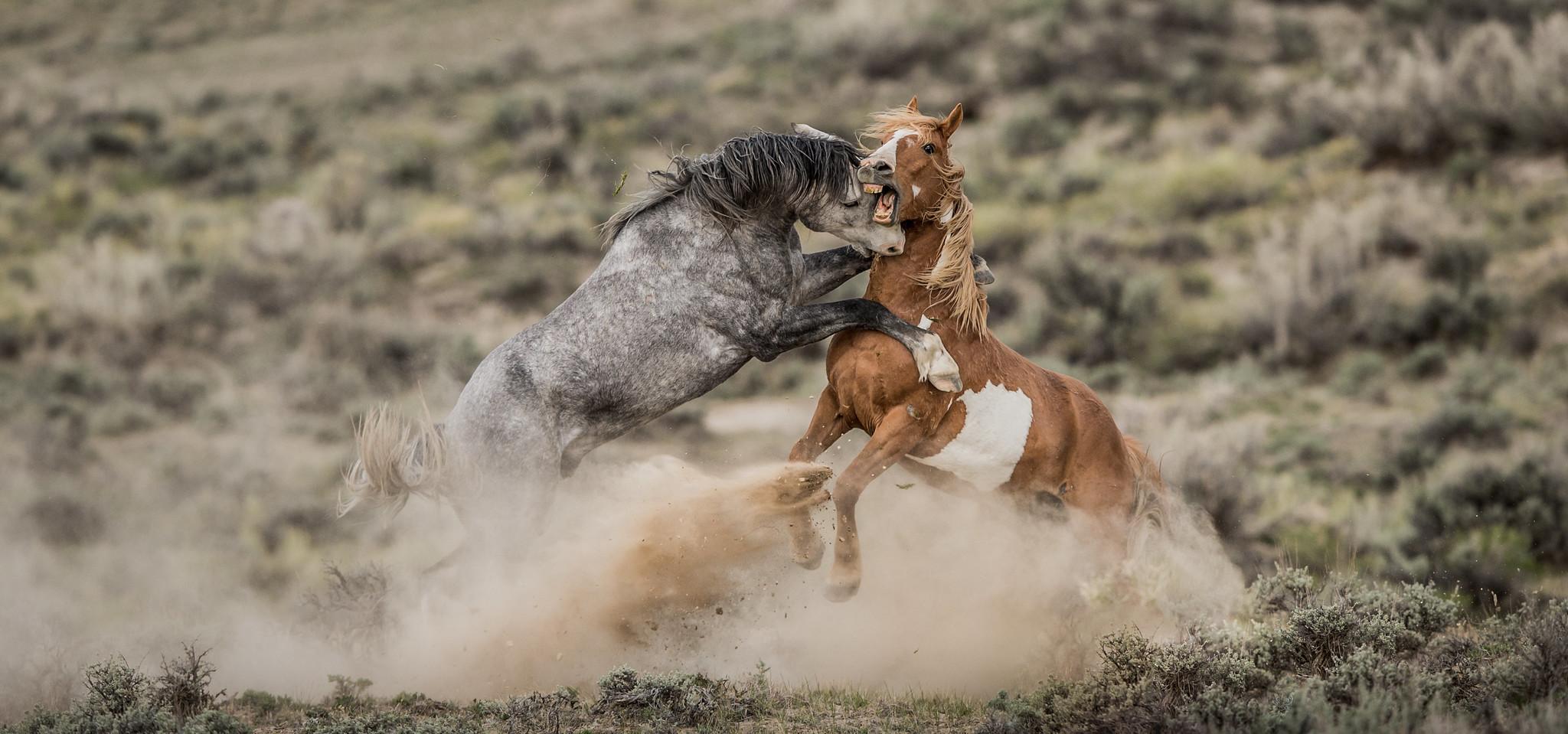 NO LOVE LOST (Colorado Life Magazine Wildlife Image of the Year 2019).jpg