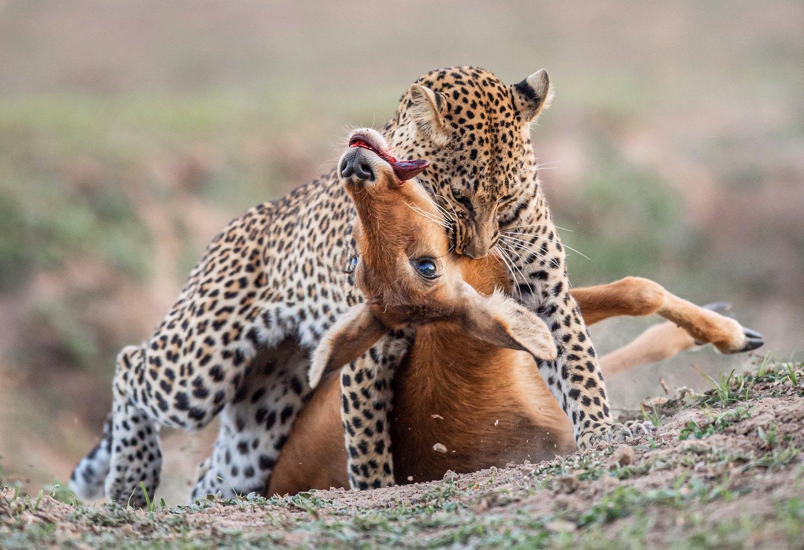 LEOPARD & PUKU - Zambia 2019.jpg