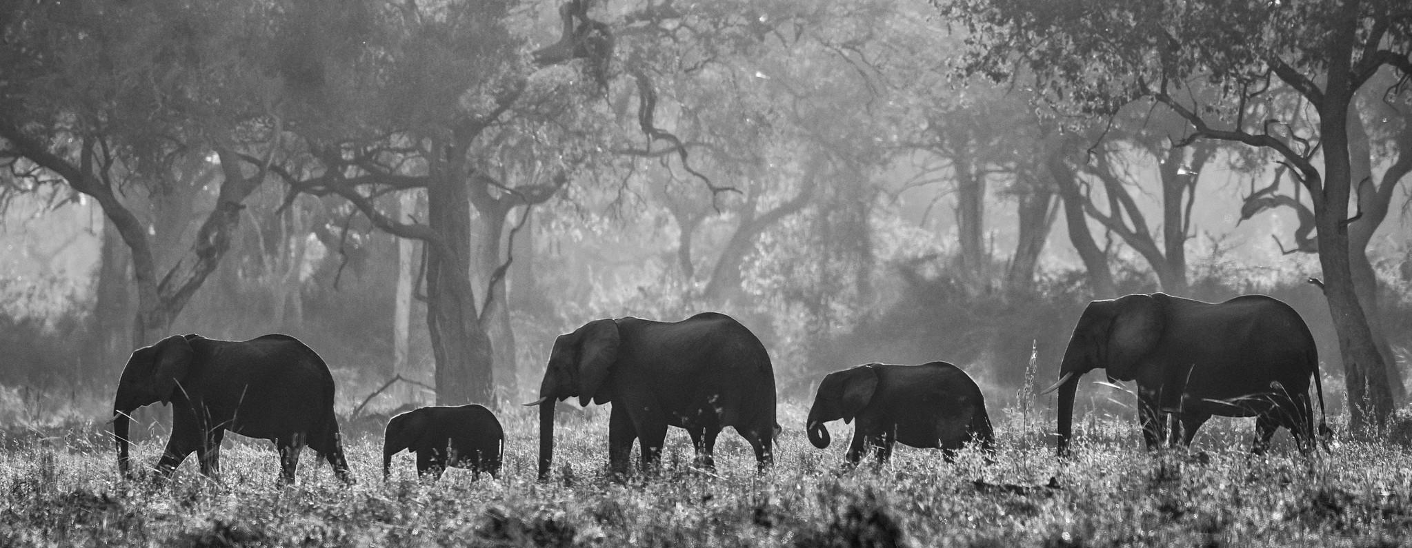 ELEPHANTS CROSSING - Zambia 2019.jpg