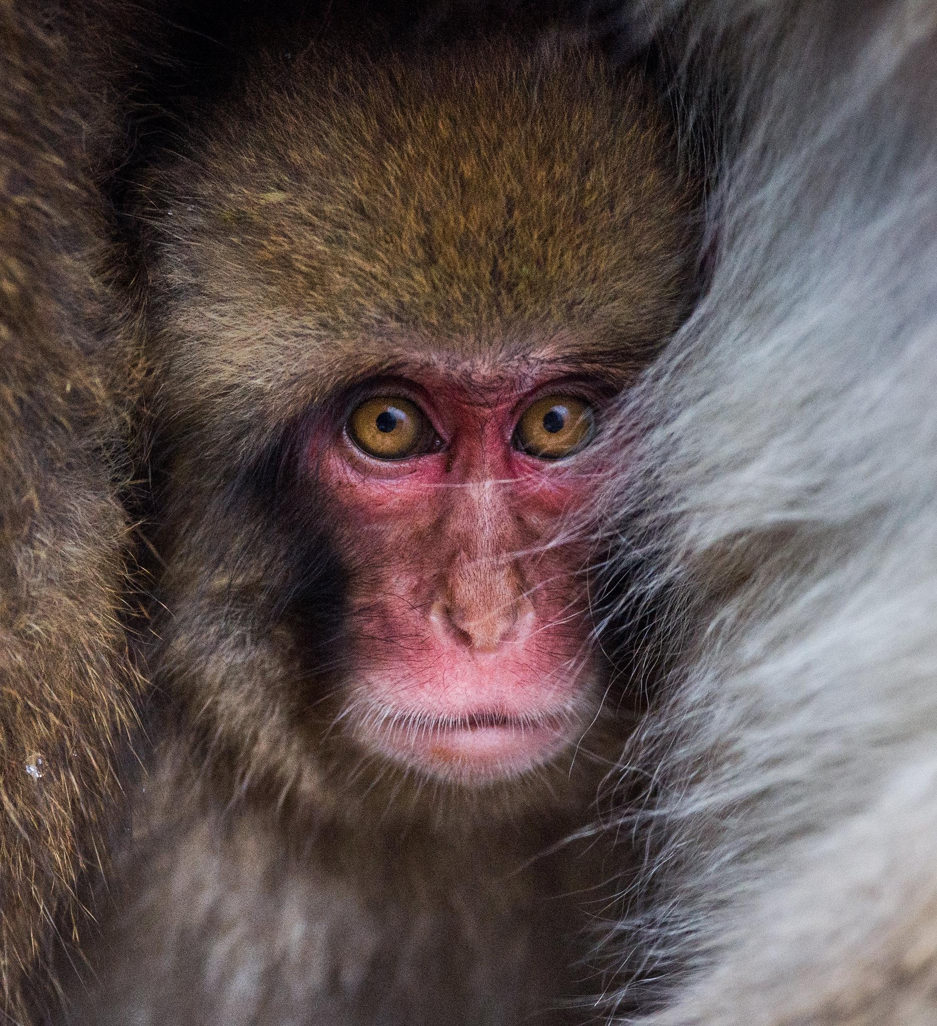 COCOON - Japanese Snow Monkey.jpg