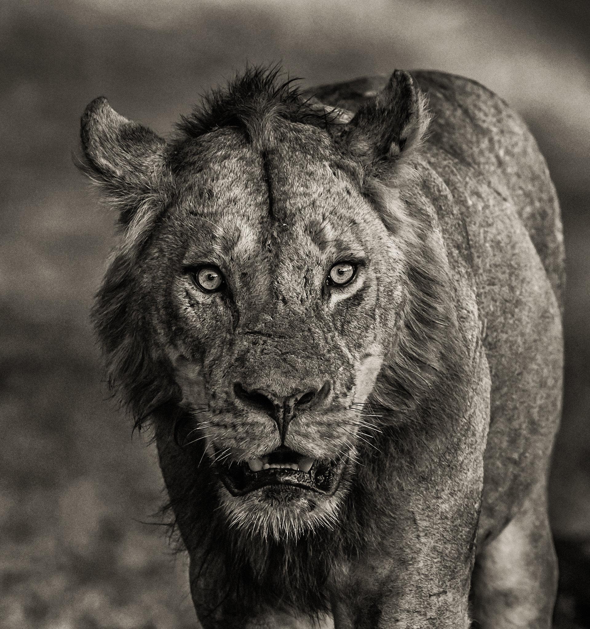 BEAST - African Lion - Zambia 2019.jpg
