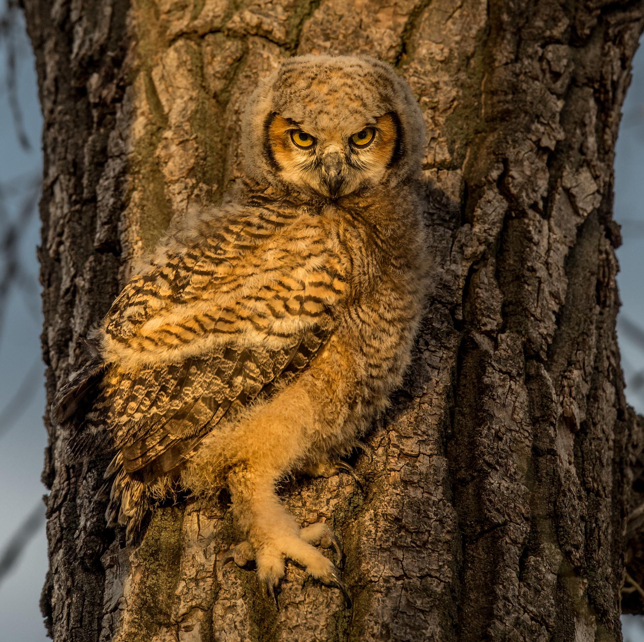BABY STEPS - Great Horned Owlet.jpg