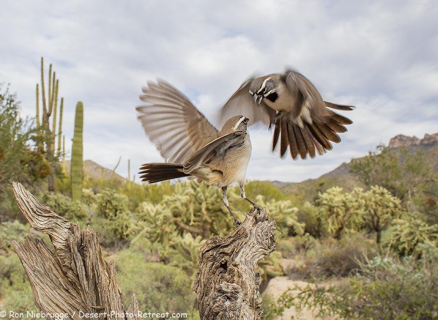 Black-throated-Sparrow.jpg